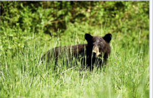 dismal-swamp-black-bear